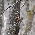 Photos: 巣穴作り(木屑を巣穴の外にポイ♪   ケホケホ…)