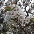 【2012年造幣局】大島桜