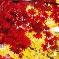 Photos: 真っ赤なモミジと黄金色の銀杏