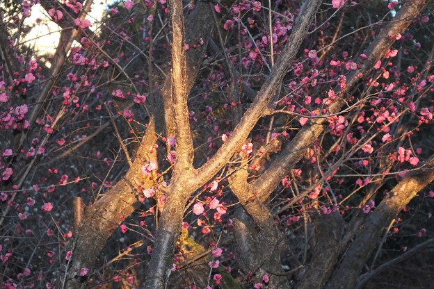 朝日が梅の木に差し込んで