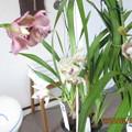 Photos: シンビジューム鉢から切り花にしてやった!