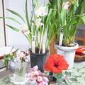 シンビ三種と紅白沈丁花とハイビスカスとゼラニューム