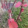 写真: 粒粒の蕾がやがてこんな葉っぱに