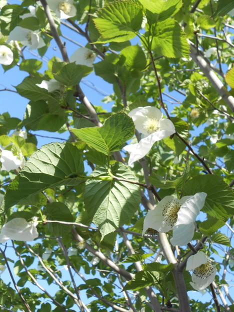写真: ハンカチの樹の花
