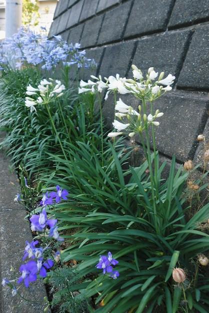 アガパンサス白花