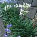 写真: アガパンサス白花