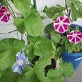 2鉢目青が開花