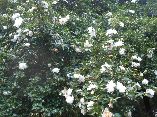 白い花が咲いてたー
