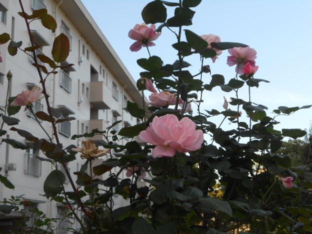 きれいなピンクのバラ