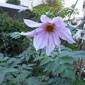 皇帝ダリアの開花