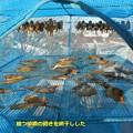麺つゆに漬けた開きを網に干した