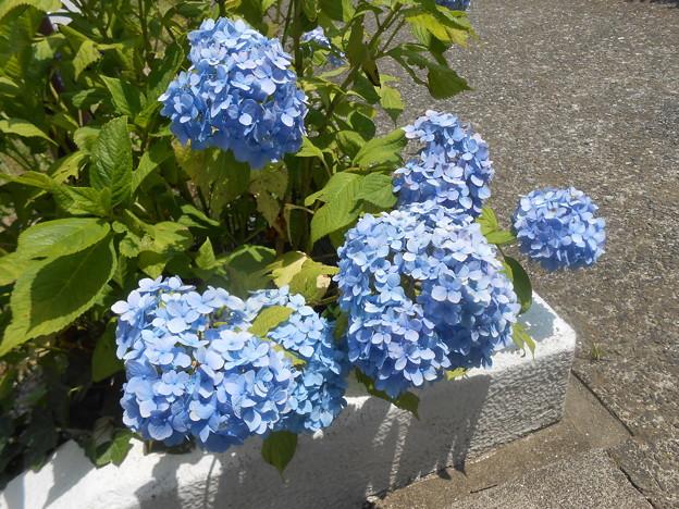 花も小ぶりの背が低い