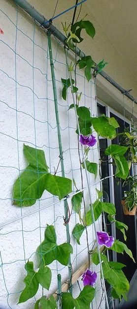花のない茎は葉っぱが巨大化しています