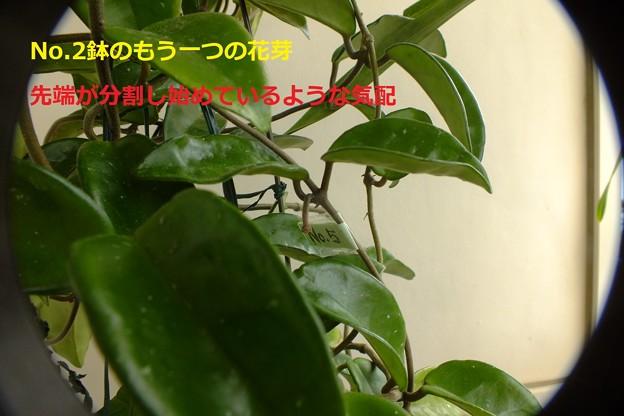 No2鉢のこの花芽の茎は短いまんまですが