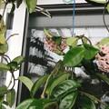 桜ラン2鉢