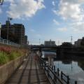 横十間川川べりには低木百日紅が満開