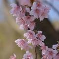 写真: 椿寒桜~♪