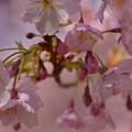 大寒桜~♪