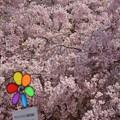 風車と桜~♪