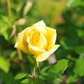 薔薇まつり・黄色のばら~♪