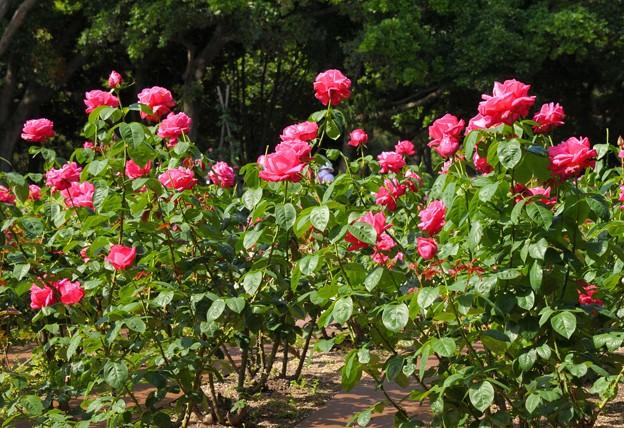 元気な薔薇たち~♪
