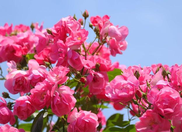 青空の元で微笑む薔薇たち~♪