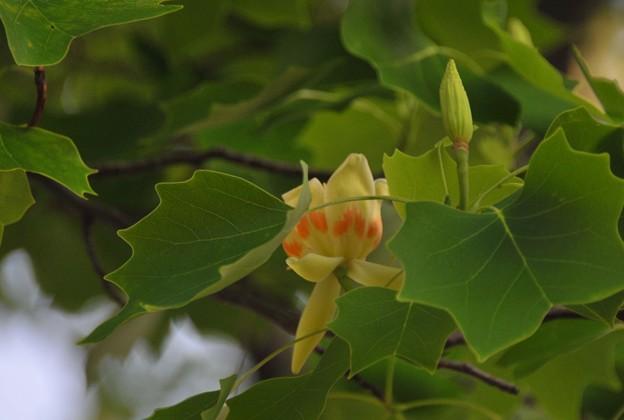 ゆりの木の花と蕾~♪