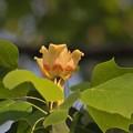 ゆりの木の花~♪