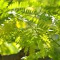 アメリカ サイカチの新緑~♪