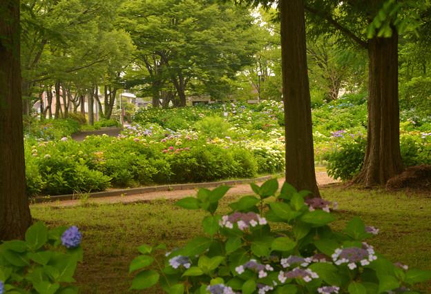 公園の紫陽花~♪
