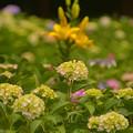 写真: 公園の紫陽花と百合~♪