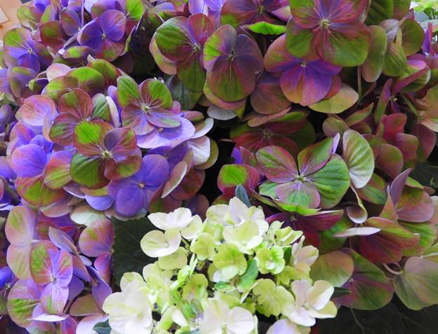 今日見た 紫陽花~♪