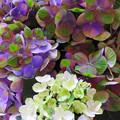 写真: 今日見た 紫陽花~♪