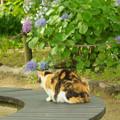 紫陽花を眺める猫ちゃん~♪