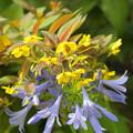 アガパンサスに黄色の花が・・・~♪