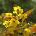 黄色の花は レシマキア~♪