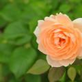 オレンジ色の薔薇~♪
