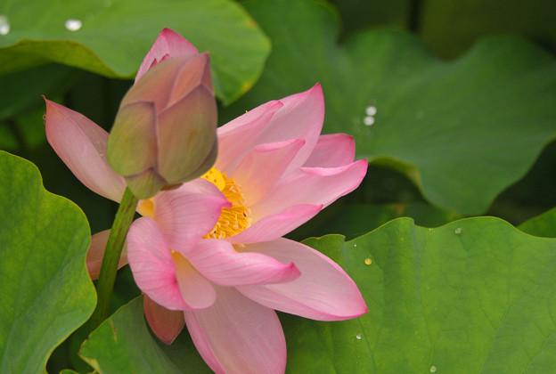 蓮の花~♪