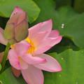 写真: 蓮の花~♪