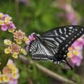 写真: 七変化と蝶~♪