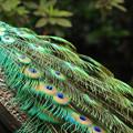 写真: インド孔雀の羽~♪