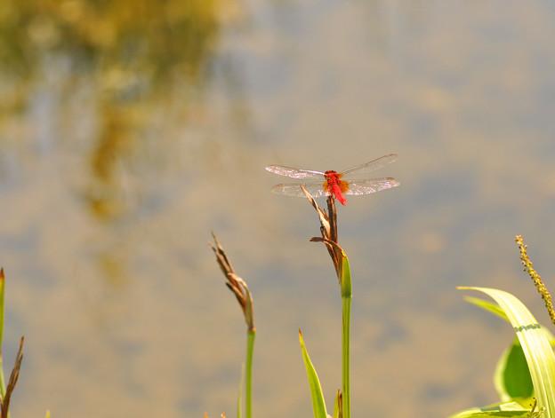 赤蜻蛉~♪