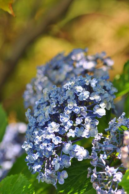 紫陽花~♪