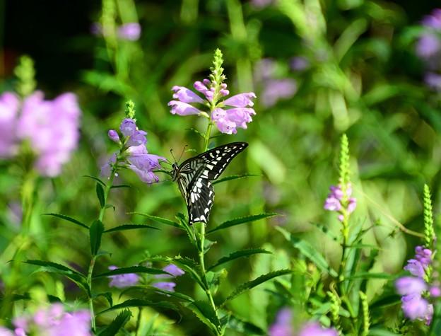 花虎の尾と揚羽蝶~♪