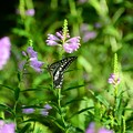 写真: 花虎の尾と揚羽蝶~♪