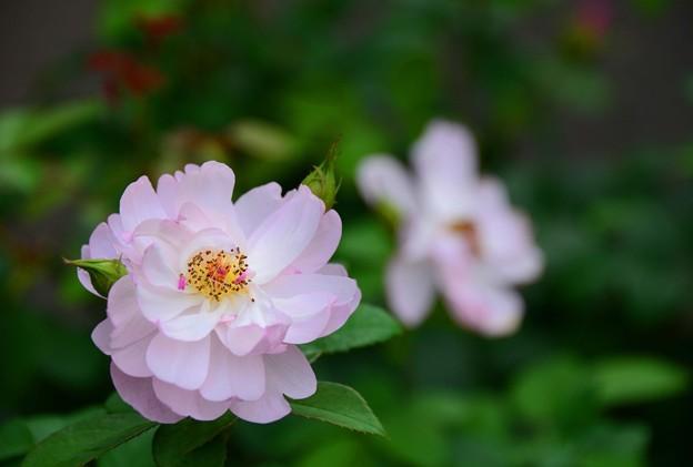 秋の蔓薔薇~♪