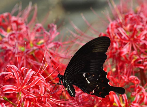 彼岸花と黒い蝶~♪
