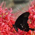 写真: 彼岸花と黒い蝶~♪