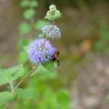 段菊と蜂~♪
