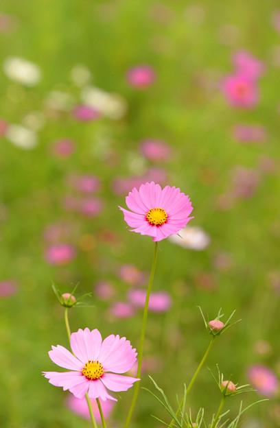 秋桜咲いて~♪